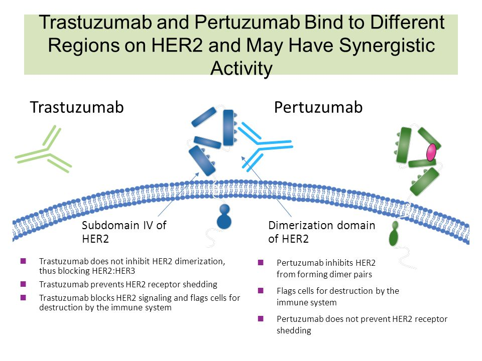 Trastuzumab and Pertuzumab Bind to Different Regions on HER2 and May Have Synergistic Activity