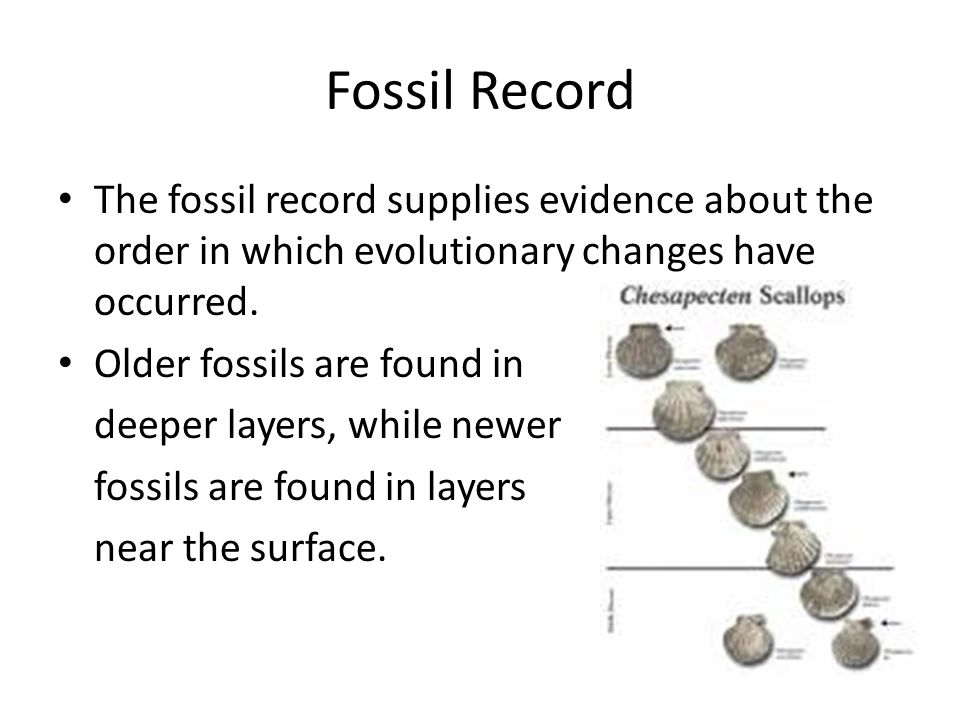 Fossil Record The fossil record supplies evidence about the order in which evolutionary changes have occurred.