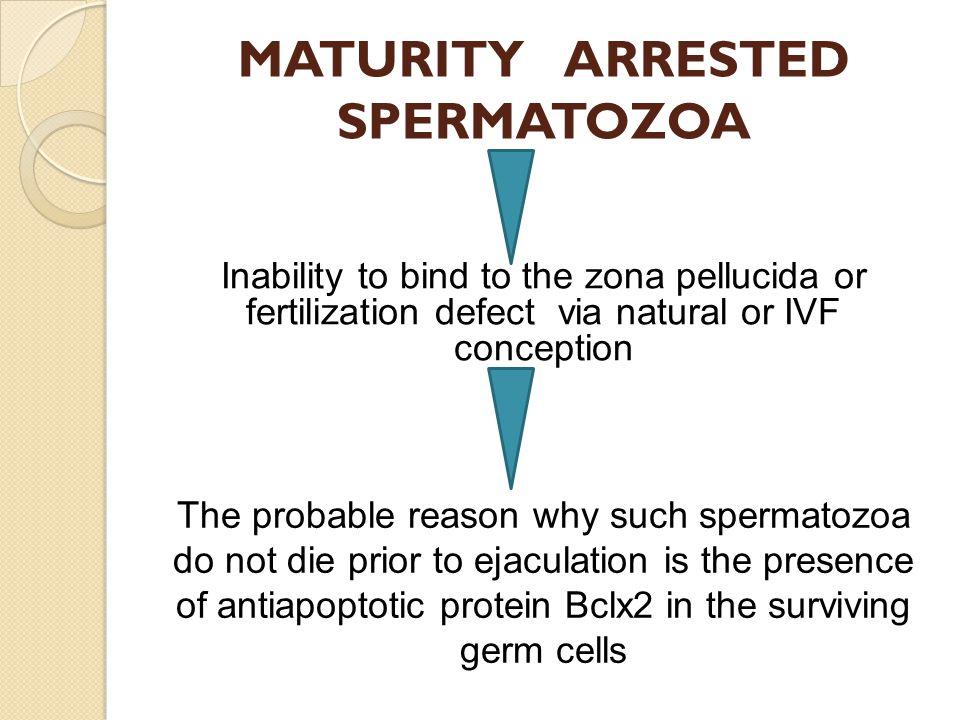 MATURITY ARRESTED SPERMATOZOA