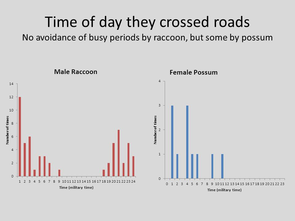 Time of day they crossed roads No avoidance of busy periods by raccoon, but some by possum
