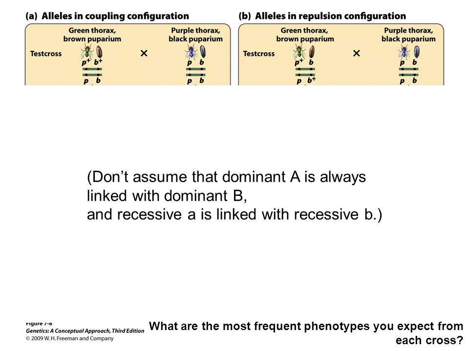 (Don't assume that dominant A is always linked with dominant B,
