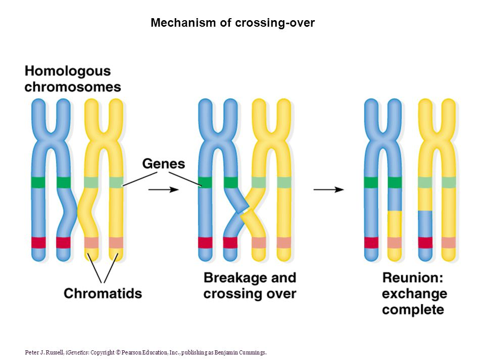 Mechanism of crossing-over