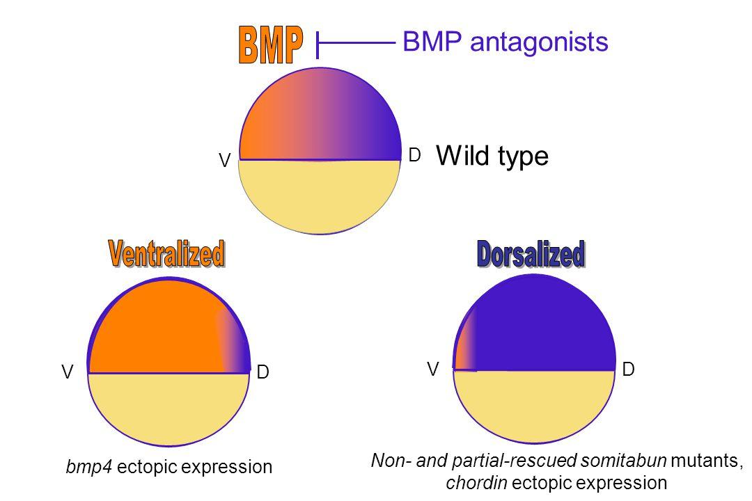 BMP antagonists Wild type BMP D V Ventralized Dorsalized D V V D