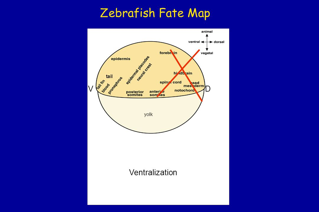Zebrafish Fate Map tail V D yolk Ventralization