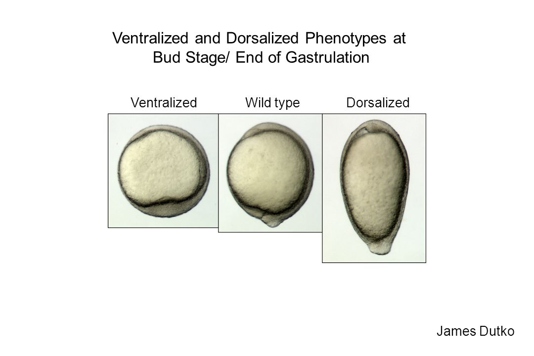 Ventralized and Dorsalized Phenotypes at