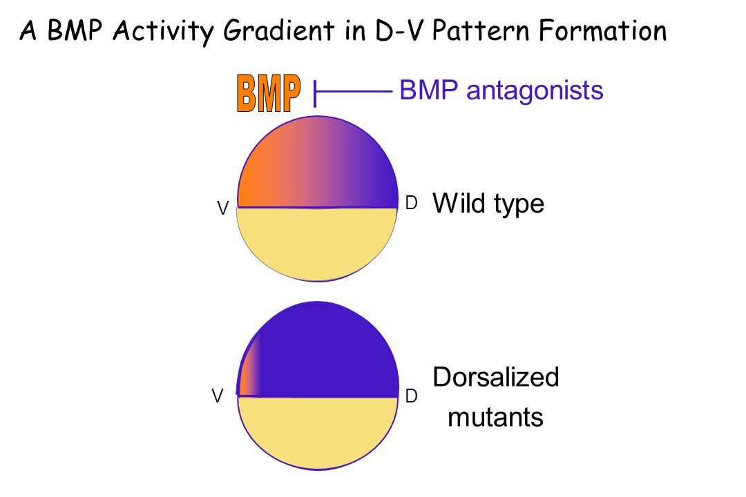 A BMP Activity Gradient in D-V Pattern Formation