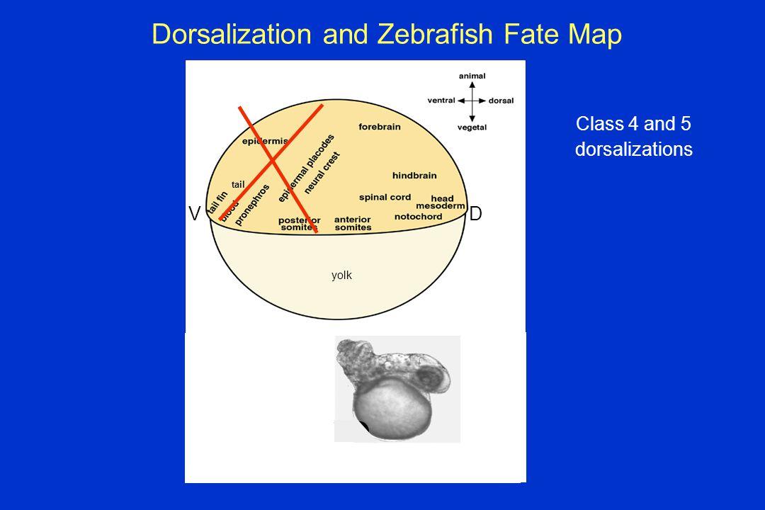 Dorsalization and Zebrafish Fate Map