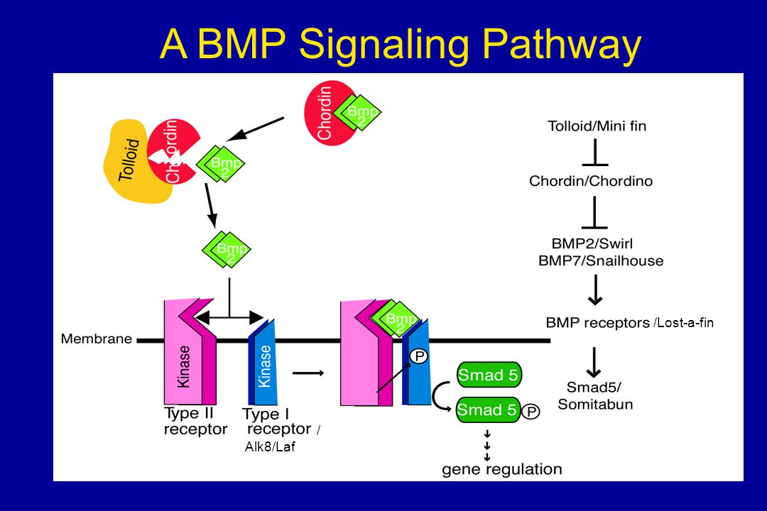 A BMP Signaling Pathway