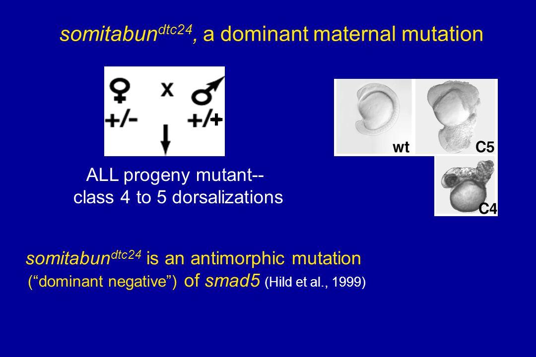 + somitabundtc24, a dominant maternal mutation ALL progeny mutant--