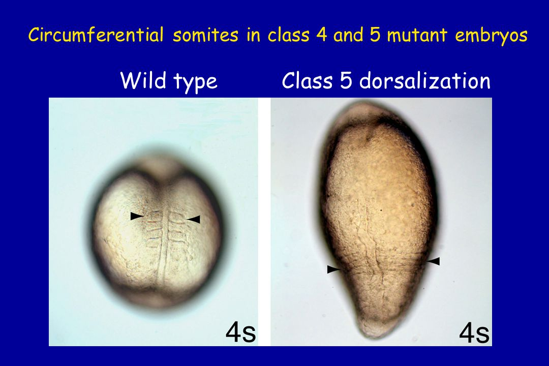Circumferential somites in class 4 and 5 mutant embryos