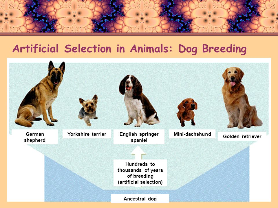 Artificial Selection in Animals: Dog Breeding