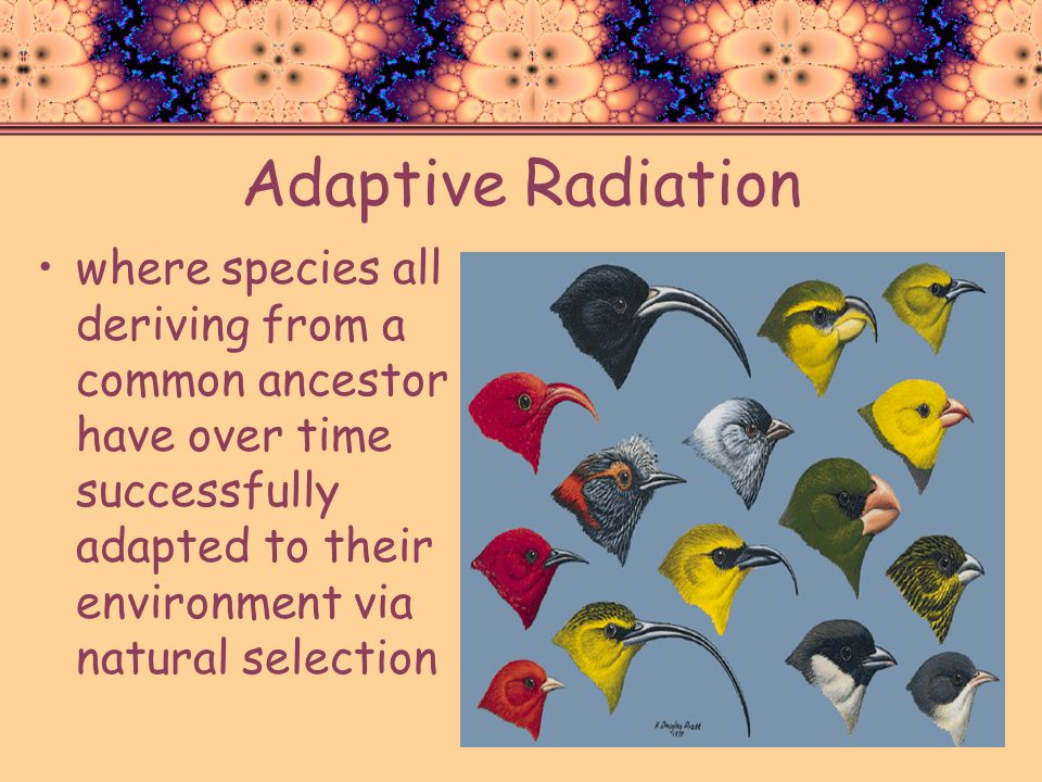 Adaptive Radiation where species all deriving from a common ancestor have over time successfully adapted to their environment via natural selection.