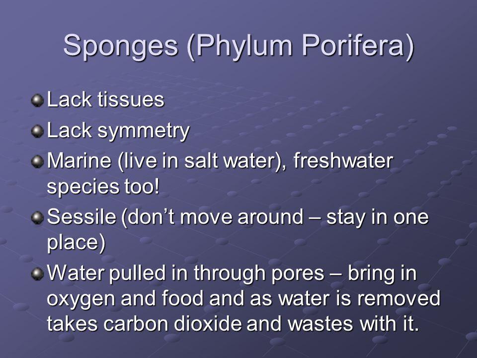 Sponges (Phylum Porifera)