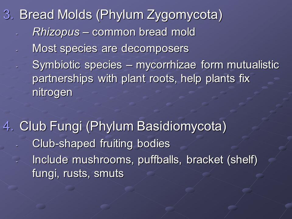 Bread Molds (Phylum Zygomycota)