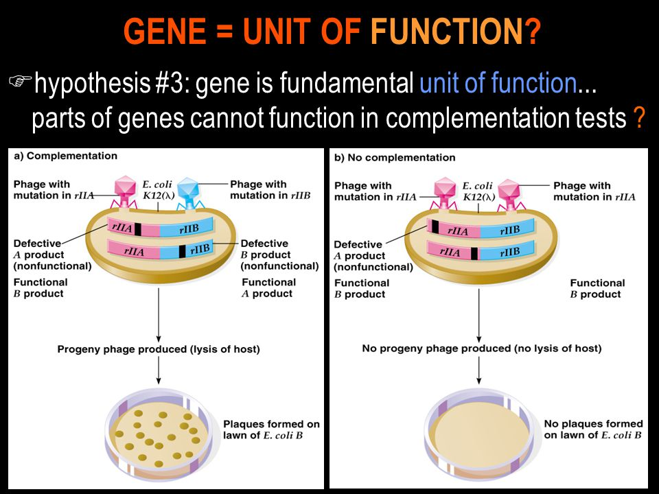 GENE = UNIT OF FUNCTION. hypothesis #3: gene is fundamental unit of function...