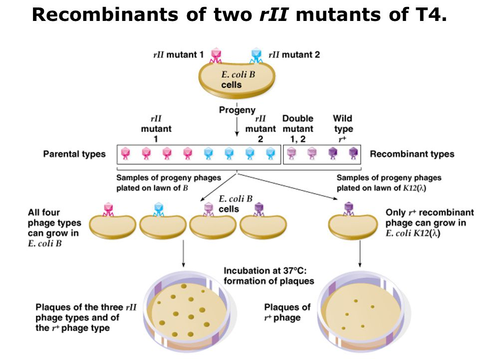 Recombinants of two rII mutants of T4.