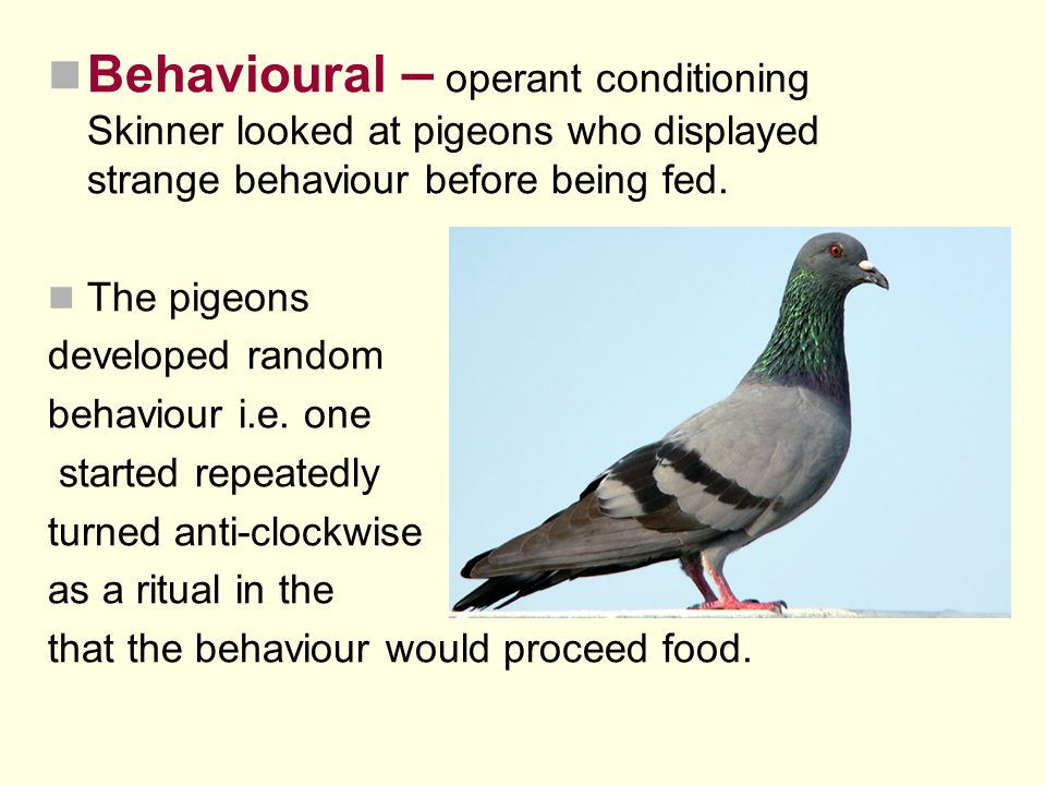 Behavioural – operant conditioning Skinner looked at pigeons who displayed strange behaviour before being fed.