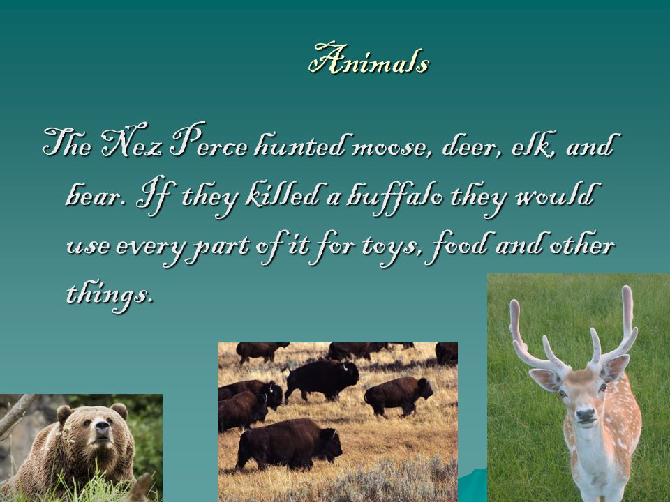 Animals The Nez Perce hunted moose, deer, elk, and bear.