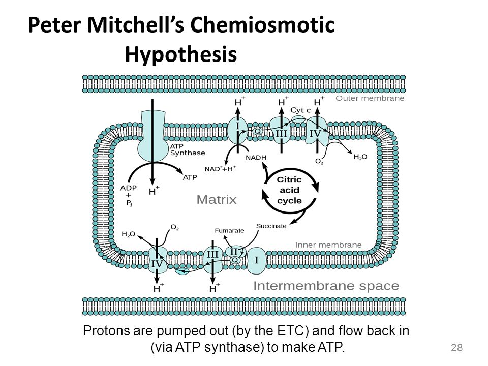 Peter Mitchell's Chemiosmotic Hypothesis