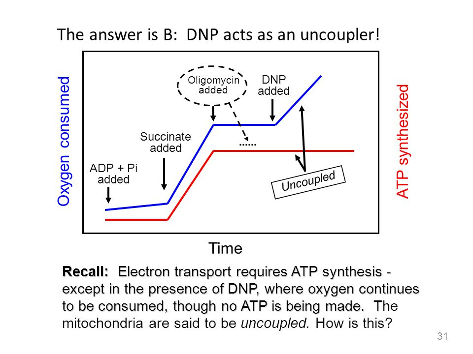 The answer is B: DNP acts as an uncoupler!