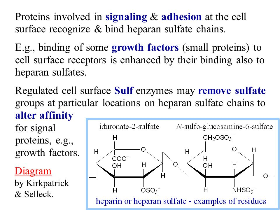 Proteins involved in signaling & adhesion at the cell surface recognize & bind heparan sulfate chains.