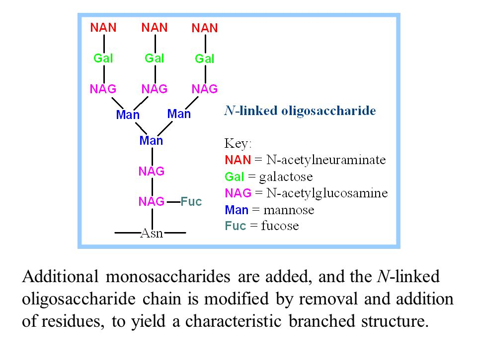 Additional monosaccharides are added, and the N-linked oligosaccharide chain is modified by removal and addition of residues, to yield a characteristic branched structure.
