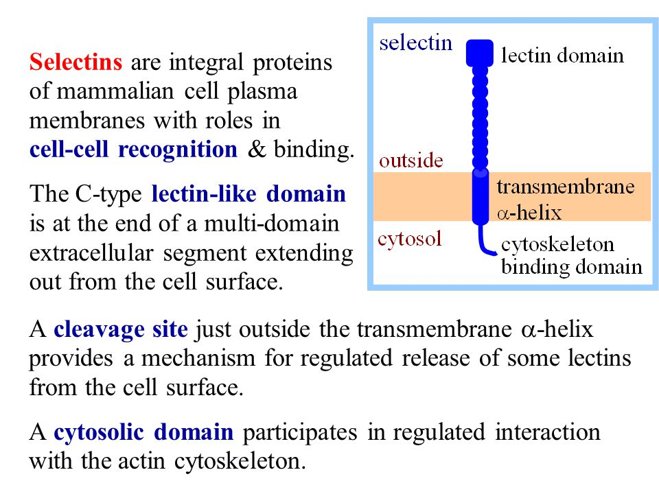 Selectins are integral proteins of mammalian cell plasma membranes with roles in cell-cell recognition & binding.