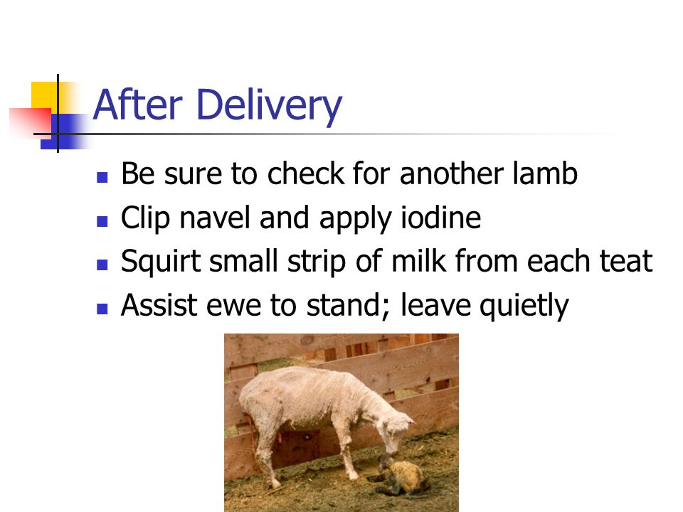 After Delivery Be sure to check for another lamb