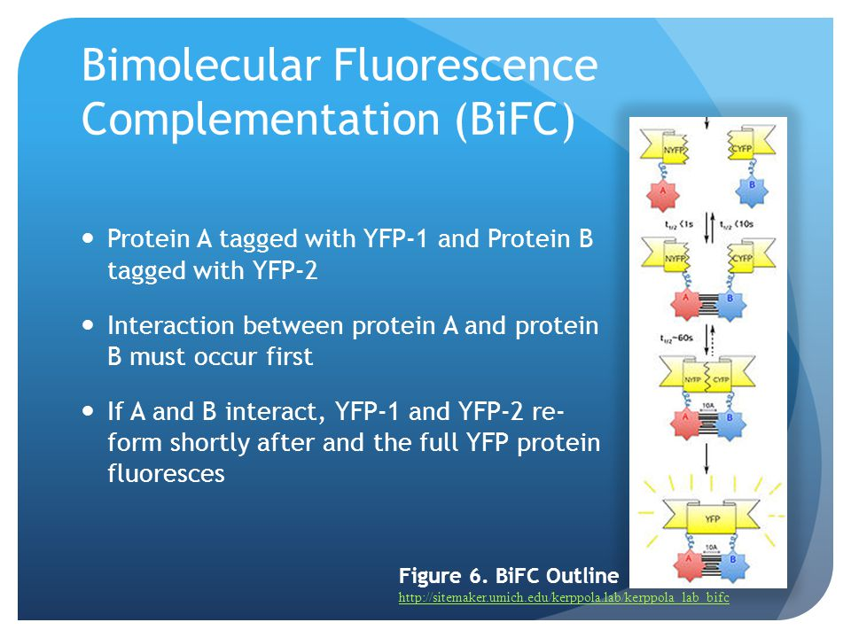 Bimolecular Fluorescence Complementation (BiFC)