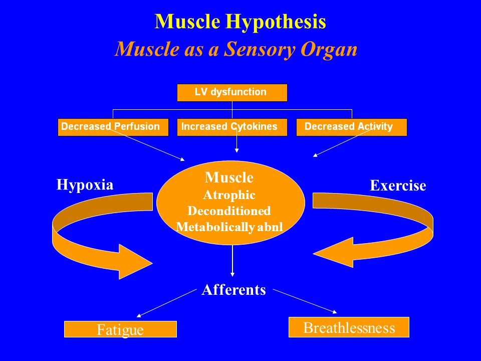 Muscle Hypothesis Muscle as a Sensory Organ