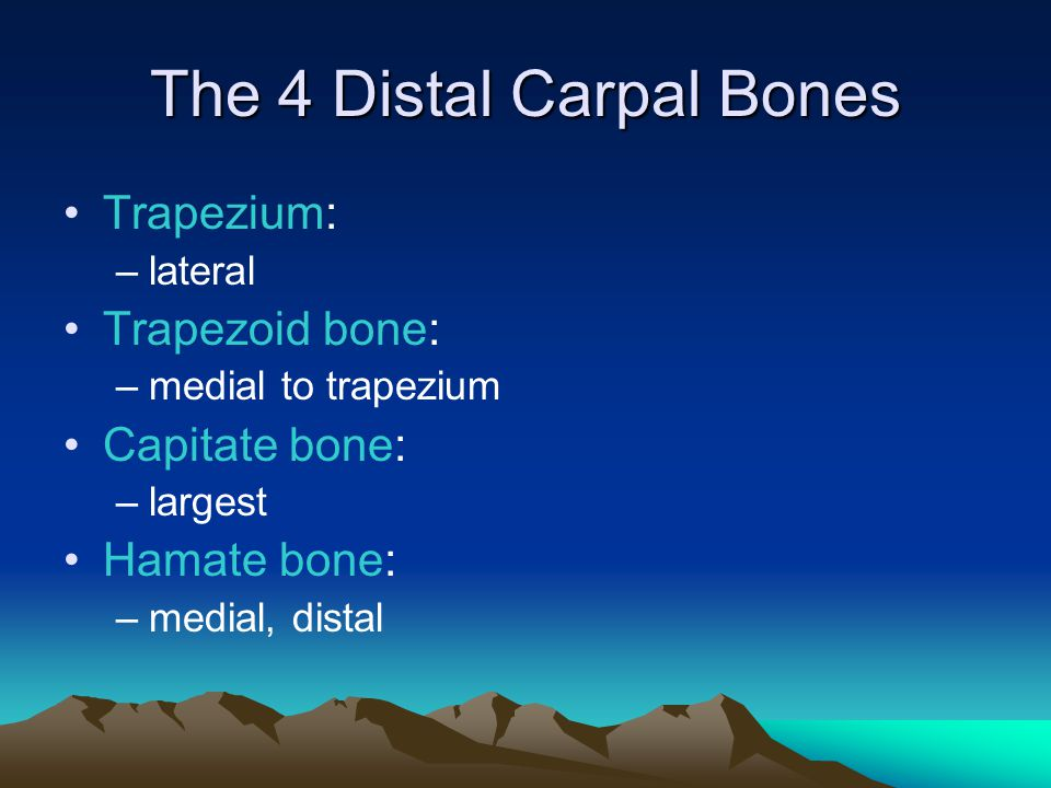 The 4 Distal Carpal Bones