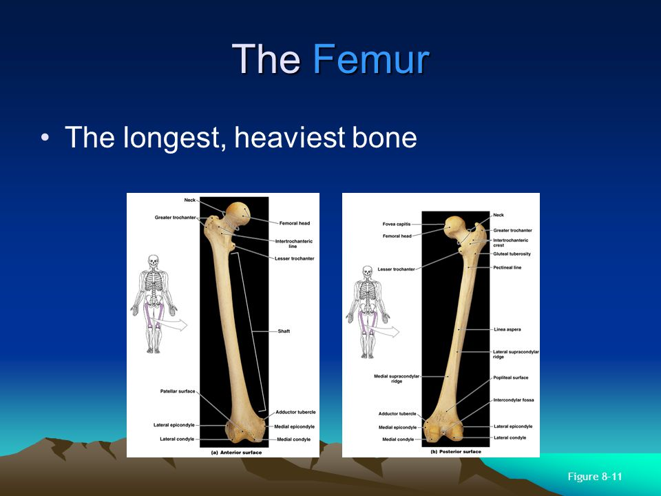 The Femur The longest, heaviest bone Figure 8–11