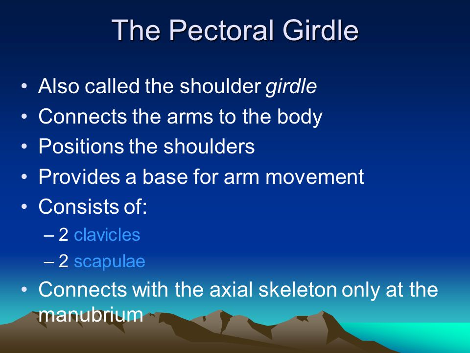 The Pectoral Girdle Also called the shoulder girdle