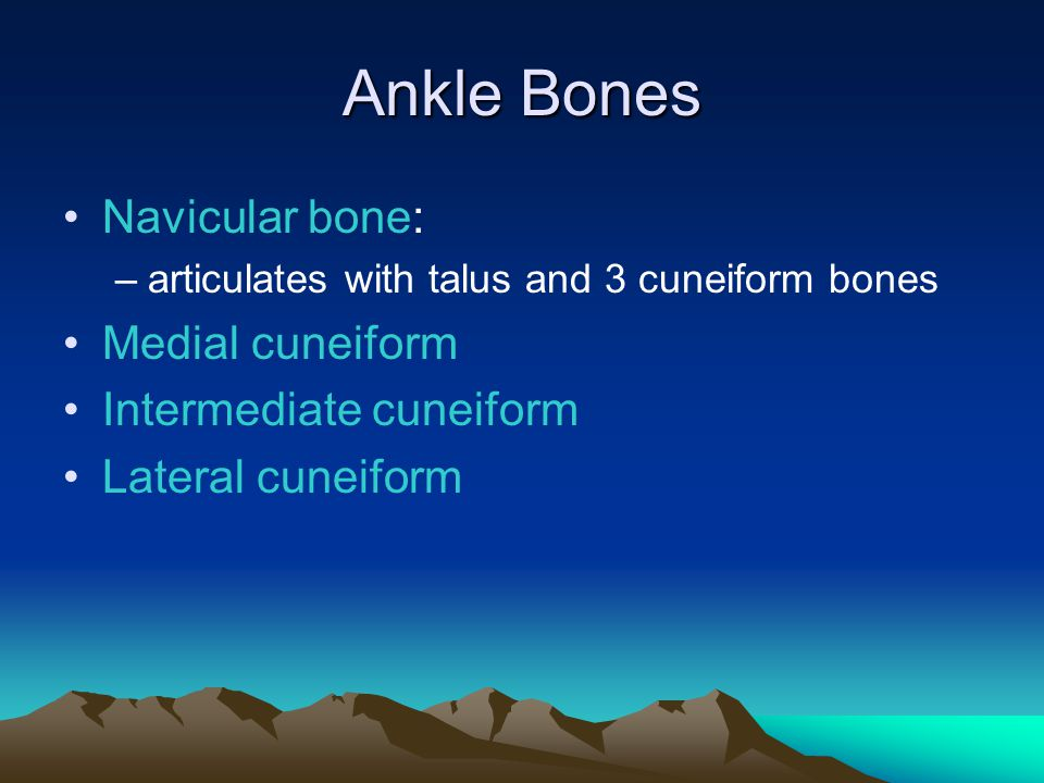 Ankle Bones Navicular bone: Medial cuneiform Intermediate cuneiform