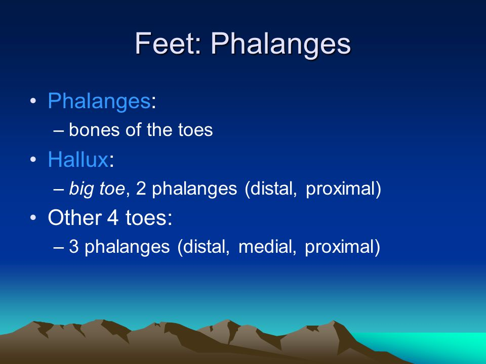 Feet: Phalanges Phalanges: Hallux: Other 4 toes: bones of the toes
