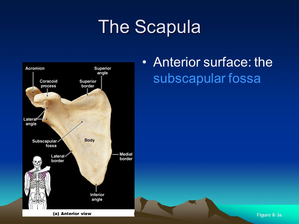 The Scapula Anterior surface: the subscapular fossa Figure 8–3a