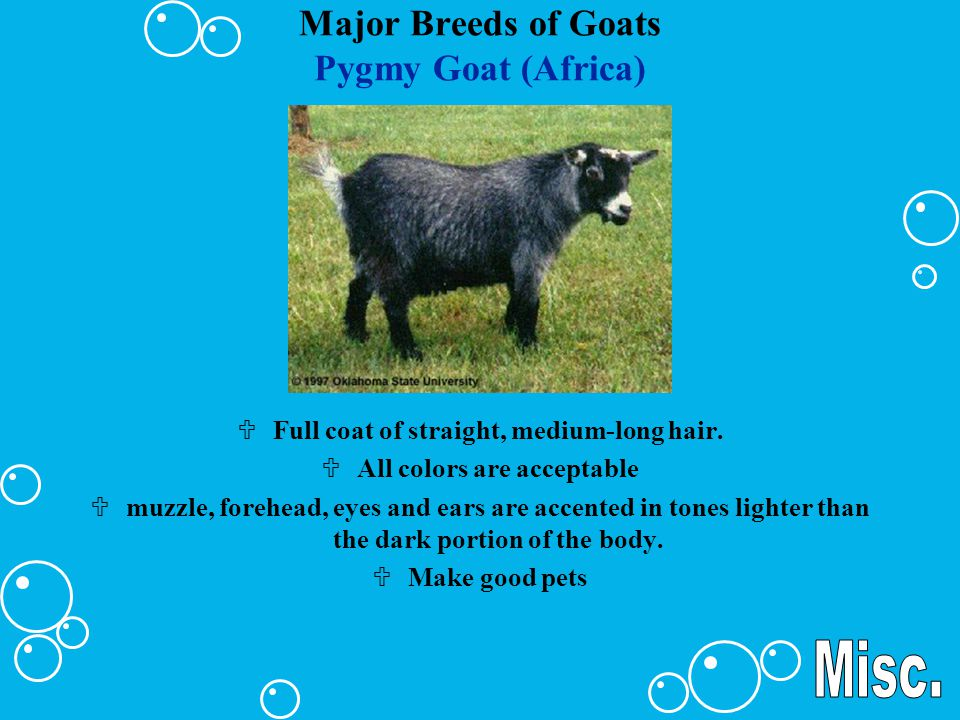Major Breeds of Goats Pygmy Goat (Africa)