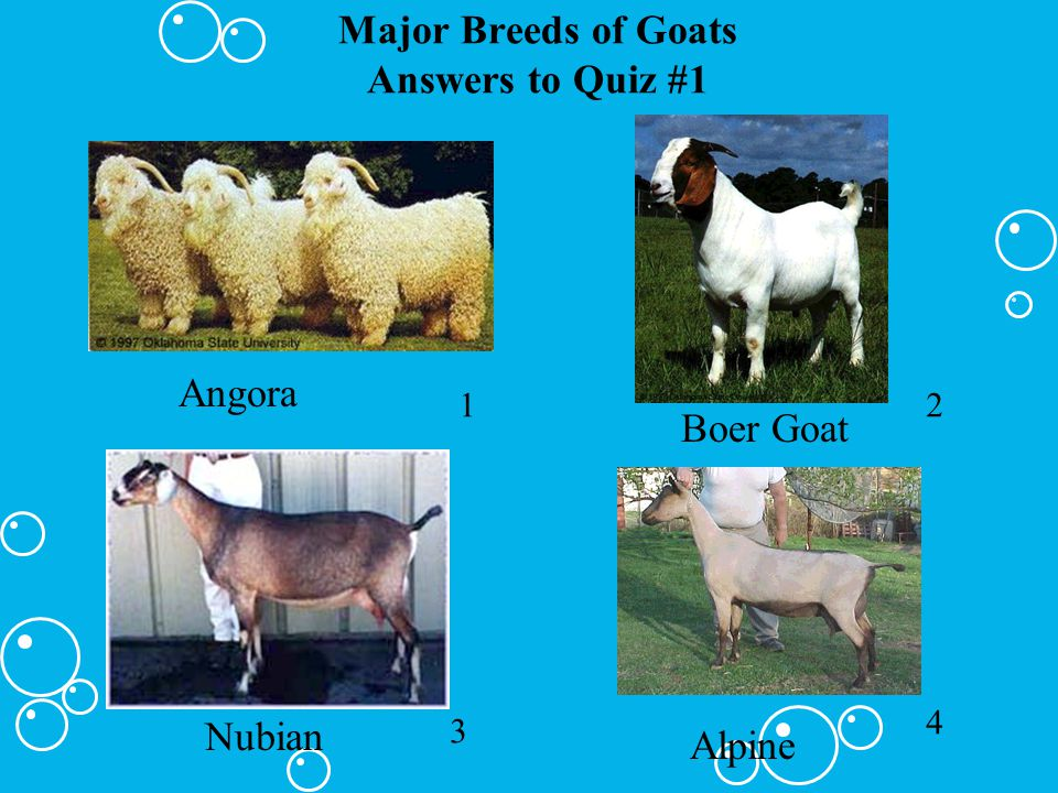 Major Breeds of Goats Answers to Quiz #1