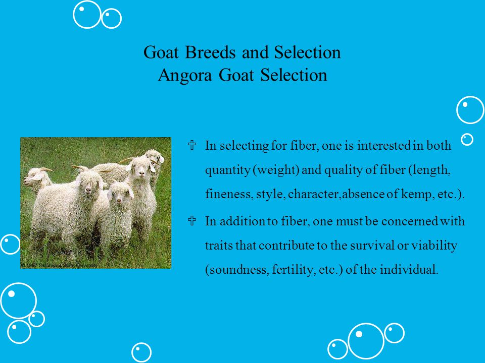 Goat Breeds and Selection Angora Goat Selection