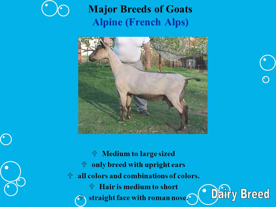 Major Breeds of Goats Alpine (French Alps)
