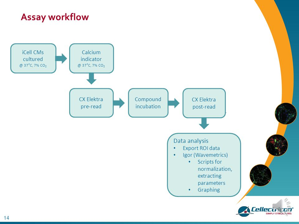 Assay workflow Data analysis iCell CMs cultured Calcium indicator