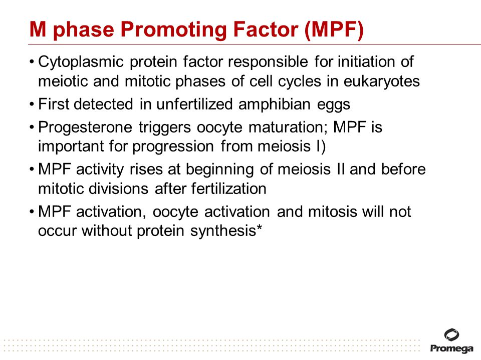 M phase Promoting Factor (MPF)