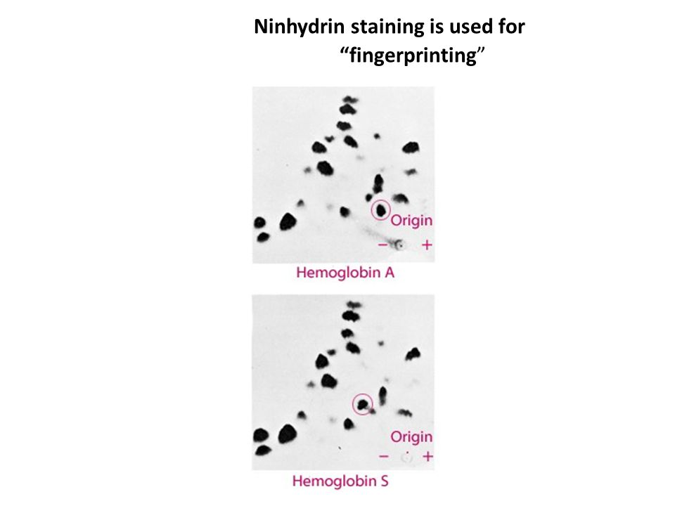 Ninhydrin staining is used for fingerprinting