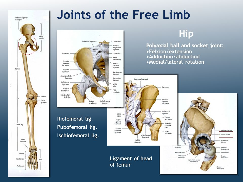 Joints of the Free Limb Hip Polyaxial ball and socket joint:
