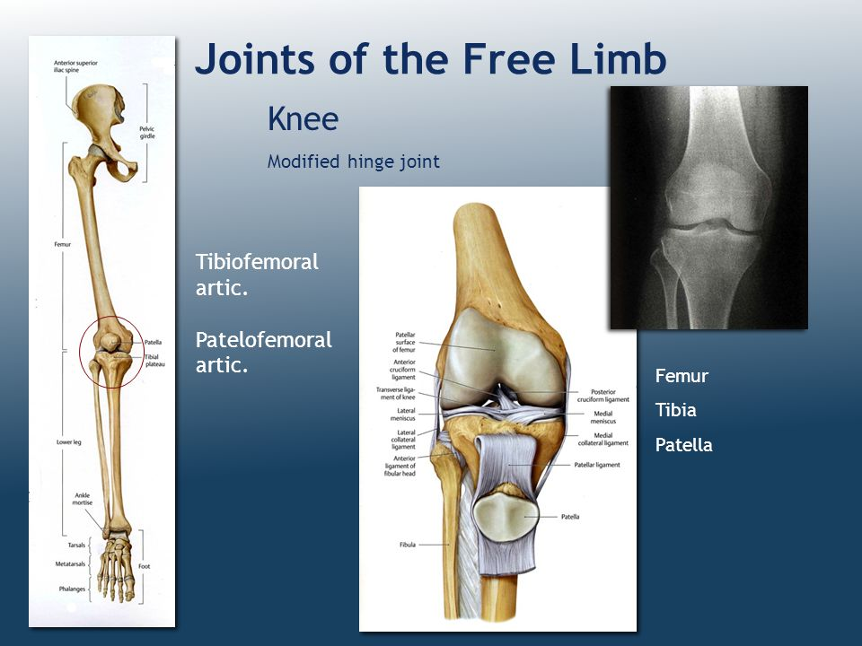 Joints of the Free Limb Knee Tibiofemoral artic. Patelofemoral artic.
