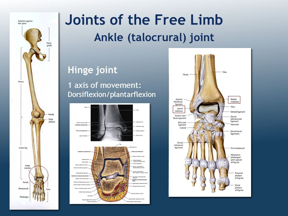 Joints of the Free Limb Ankle (talocrural) joint Hinge joint