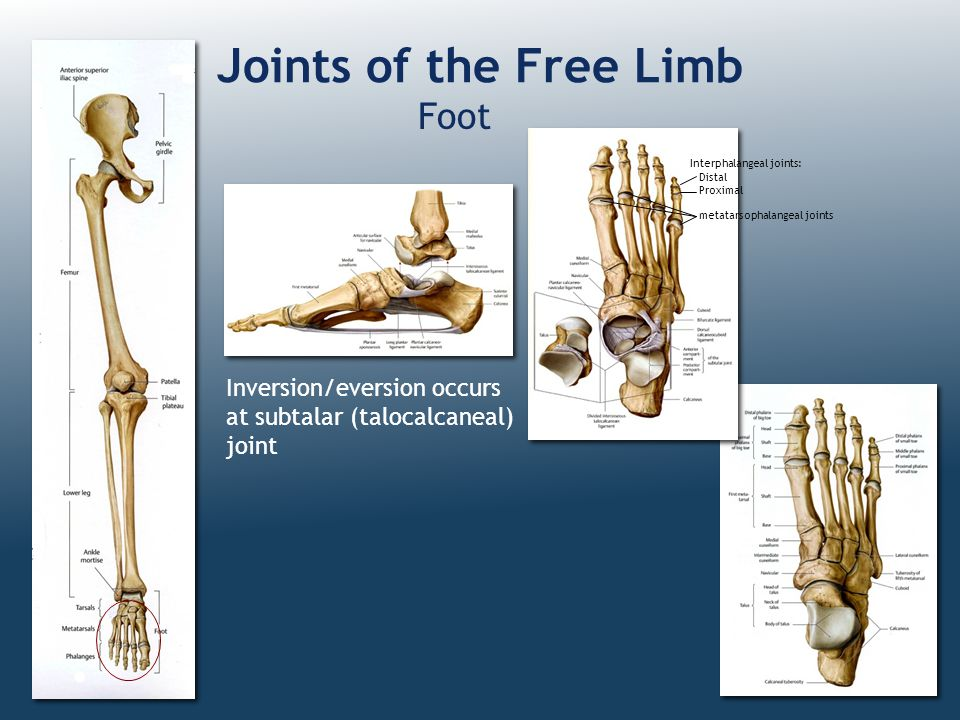 Joints of the Free Limb Foot