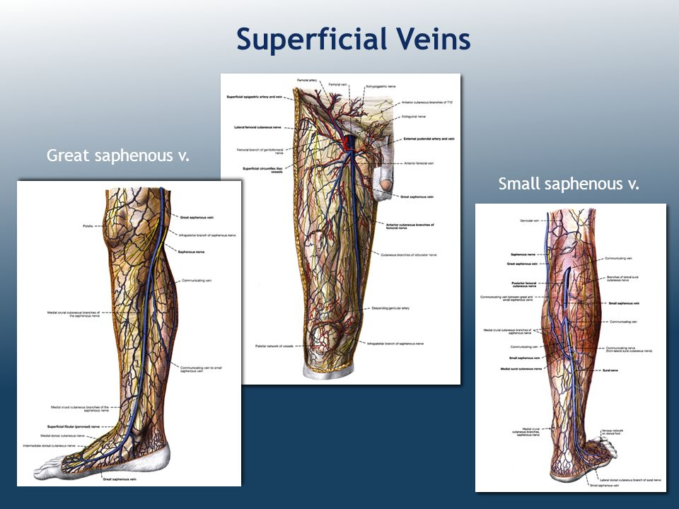 Superficial Veins Great saphenous v. Small saphenous v.
