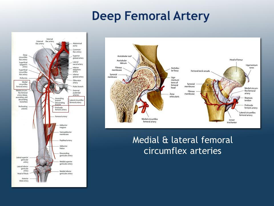 Medial & lateral femoral circumflex arteries