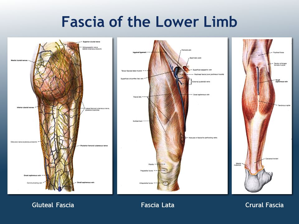Fascia of the Lower Limb